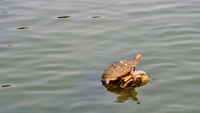 Turtle in the lake Royalty Free Stock Photography