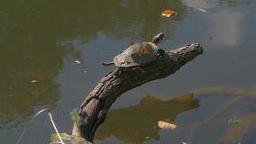 Turtle by the lake. Turtle standing on a branch by the lake on a beautiful summer day in Maksimir Zagreb stock video footage