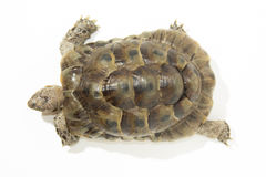 Turtle. Land turtle isolated on white royalty free stock photography