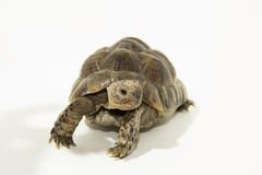 Turtle. Land turtle on white on white stock images