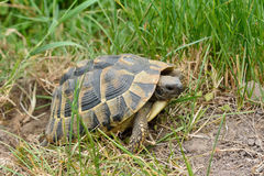 Free Turtle Laying Eggs Royalty Free Stock Images - 41783099