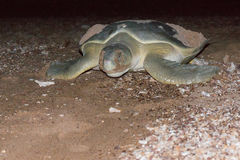 Turtle after laying eggs Royalty Free Stock Photography
