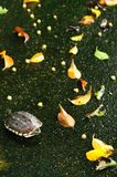 Turtle and leaf fall Stock Images