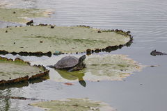 Turtle. Is on leaves in water Stock Photos