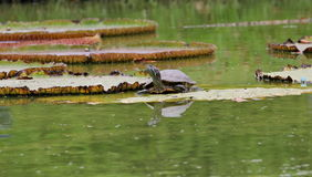 Turtle. Is on leaves in water Stock Photo