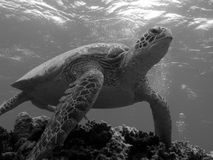 Turtle Leaving Bommie. Turtle on the Great Barrier Reef, Australia stock image