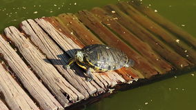 Turtle leaving the pond. Shot of turtle leaving the pond stock video