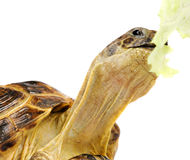 Turtle with lettuce Stock Images