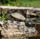 Turtle Lifting Off Rock Royalty Free Stock Photos