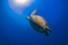 Turtle likes flapping Royalty Free Stock Images