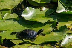 Turtle on lilly leaf. A turtle stand in the sun on lily leaf royalty free stock image