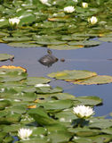 Turtle with Lily Pads. A turtle rests on a log among some lily pads Royalty Free Stock Image