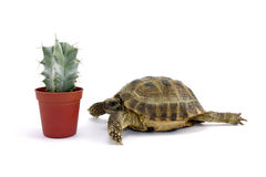 Turtle and little cactus Stock Photos