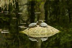 Turtle. Little mud turtle on stone Stock Image