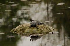 Turtle. Little mud turtle on stone Stock Photo