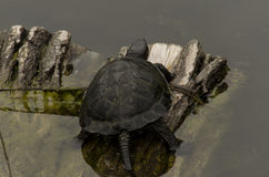 Turtle. Little mud turtle on stone Royalty Free Stock Photography