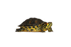 Turtle. Little young turtle on a white background Stock Photos