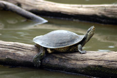 Turtle on log. Stock Photos