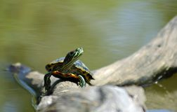 Turtle on a Log. Turtle (Red-eared Slider; Trachemys scripta elegans) sitting on a log sunning itself Royalty Free Stock Image