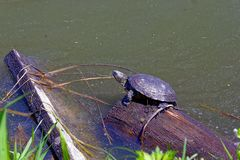 Turtle on a log in a forest lake Royalty Free Stock Photography