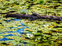 Turtle on the log in the lake in the public Beacon Hill Park, Vi Royalty Free Stock Photography