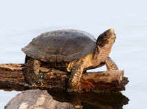 Turtle on a log in a Pond. Pacific Pond Turtle on a log royalty free stock photos