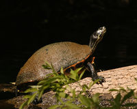 Turtle on a log Royalty Free Stock Photo
