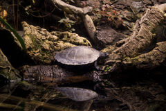 Turtle On Log. A turtle sitting on a log with reflection in water Stock Photography