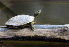 Turtle on a log Stock Photography