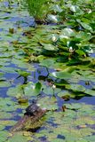 Snapping Turtle Sunning Himself on a Log in a Pond Surrounded by Water Lilies and Lily Pads Stock Image