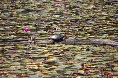 Turtle on a log. Turtle sunning itself amongst the flowers Royalty Free Stock Photo