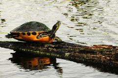 Turtle on log on water Stock Image