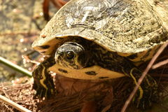Turtle looking at camera Royalty Free Stock Photography