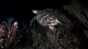 Turtle looking for food at night on the reef. Amazing, beautiful underwater world Bahamas and the life of its inhabitants, creatures and diving, travels with stock footage