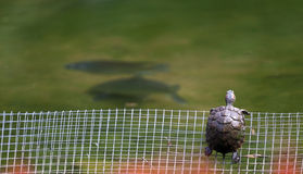 Turtle Looking at Freedom. A red eared slider turtle looks out into the freedom of the open pond as fish swim by stock photography