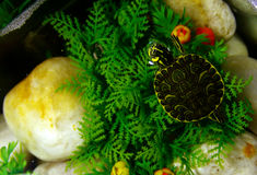 Turtle looking up. A small turtle looking around her Stock Image