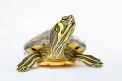 Turtle looking up. Impressed with white background royalty free stock images