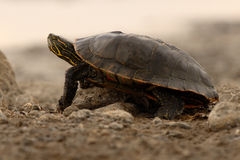 Turtle Looking Up Royalty Free Stock Image