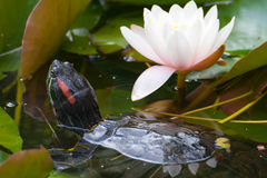 Turtle & lotus flower Royalty Free Stock Photography