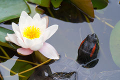 Turtle & lotus flower Royalty Free Stock Images