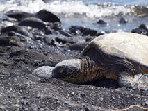Turtle lying on a black sand beach / hawaii Stock Images