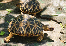 Turtle Macro. Turtles walking and feeding on veggies Stock Image