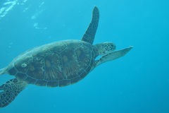 Turtle in the maldives Royalty Free Stock Photography