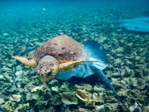 Turtle and Mantaray. In Belize Royalty Free Stock Photo