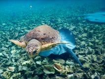 Turtle and Mantaray Royalty Free Stock Photo