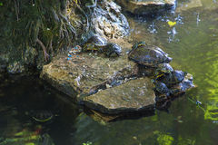 Turtle. Many turtles near the water. Exprimes relax, family, cohesion, union, Amazon and roots Stock Photography