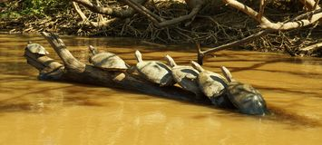 Turtle meet up in the Amazon river.  stock images