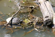 Turtle in the middle of the pond with marshy water Stock Photos