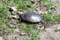 Turtle, Midland Painted  (Chrysemys picta) Royalty Free Stock Photography