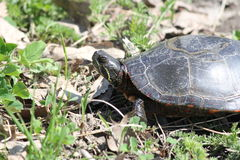 Turtle, Midland Painted  (Chrysemys picta) Royalty Free Stock Photos